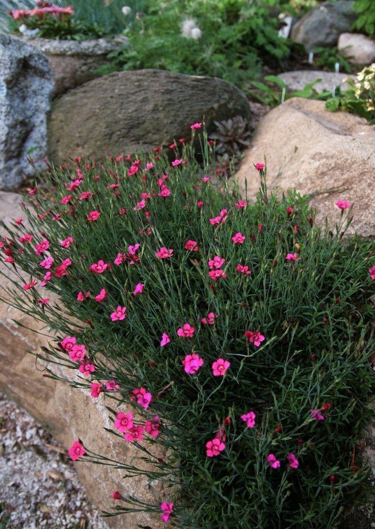 Naturstein Trockenmauer bepflanzen Pflanzen für