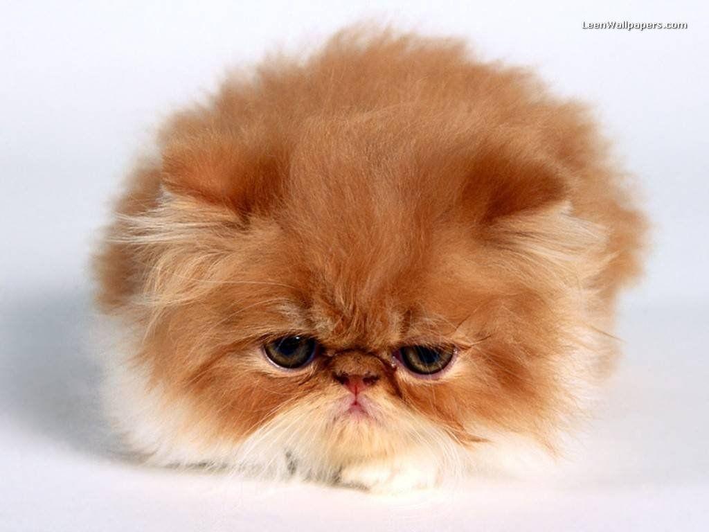 Cute Desktop Backgrounds Cute Persian Kitten Wallpaper Free
