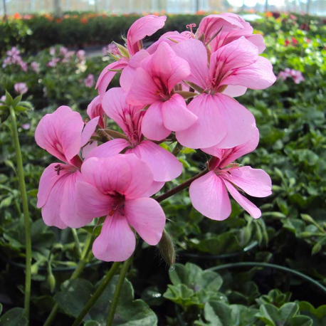 Geranium Lierre Rainbow Rose #geranium #horticulteur | Geraniums ...