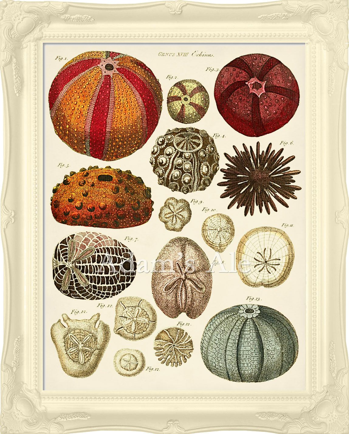 Vintage Seashell Art Poster: Very Colorful Sea Urchins From British Natural History Circa 1783 Text. $18.00, via Etsy.