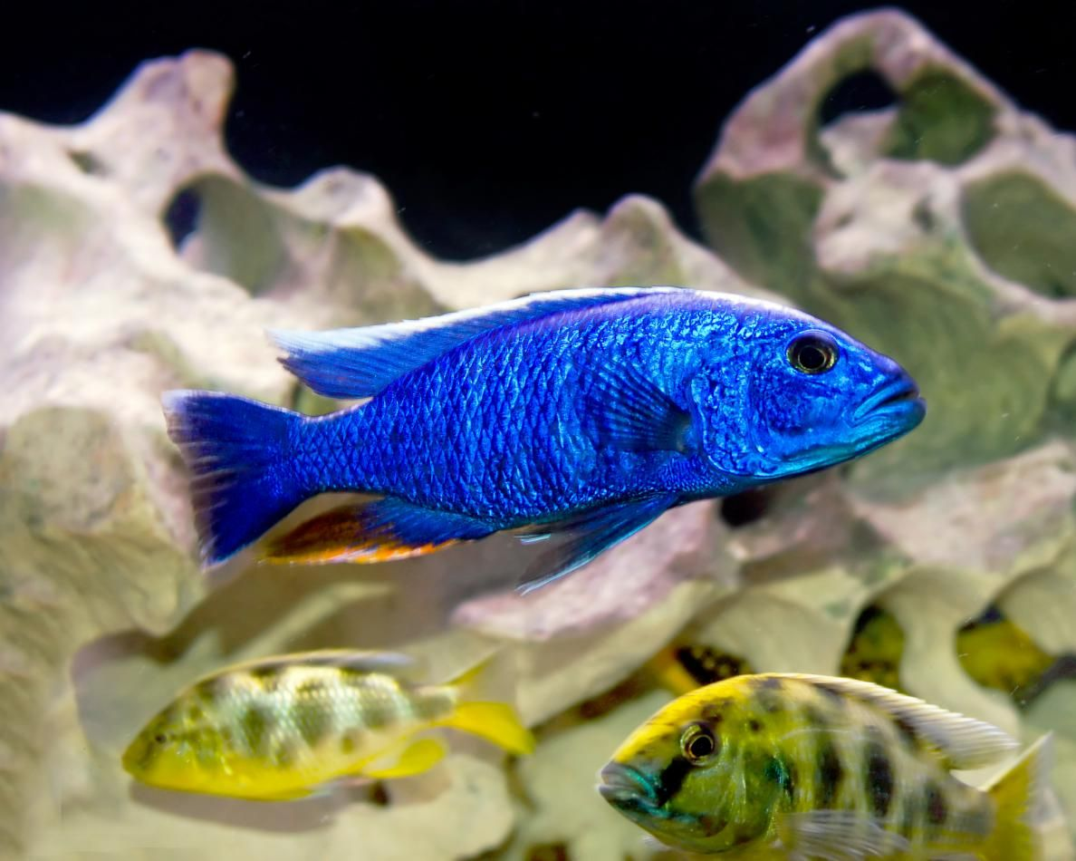 Mbuna Cichlid And Venustus Cichlid Northside Aquatics Www Nsaquatis Com African Cichlids Fish Pet Cichlids
