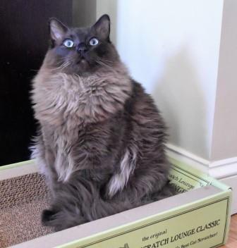 Bagheera Ragdoll Of The Week Ragdoll Cat Ragdoll Cats