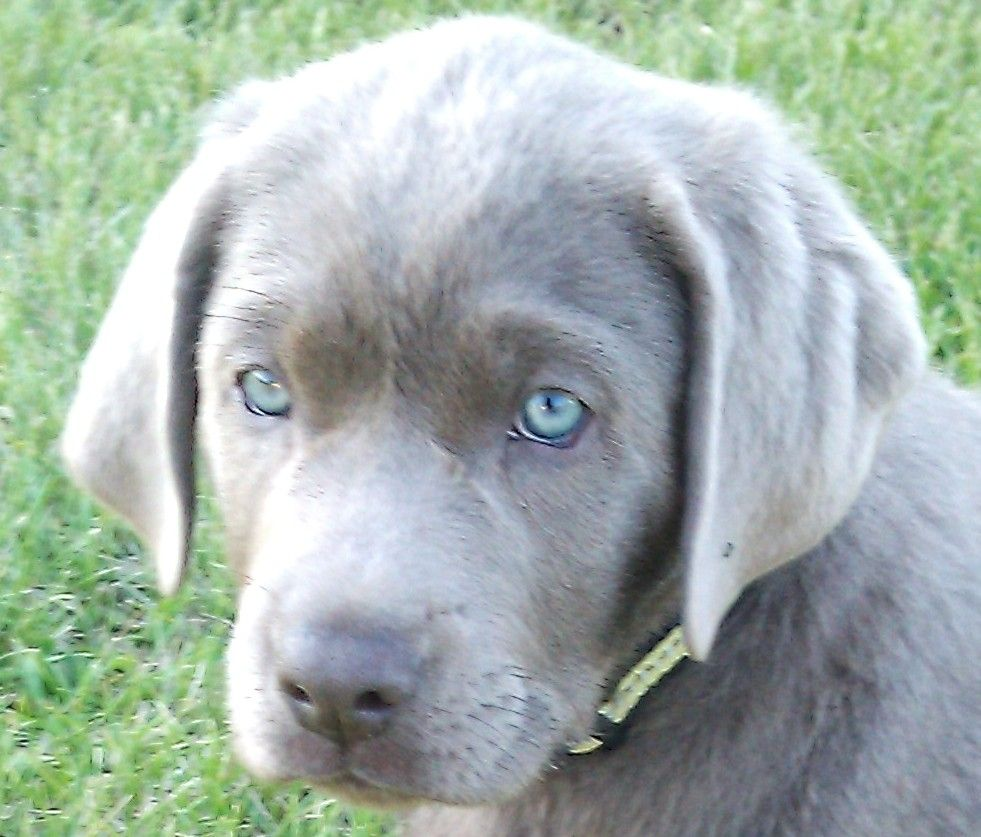 Silver Labrador Puppies For Sale Charcoal Labradors Labrador Retriever Labrador Silver Labrador Puppies