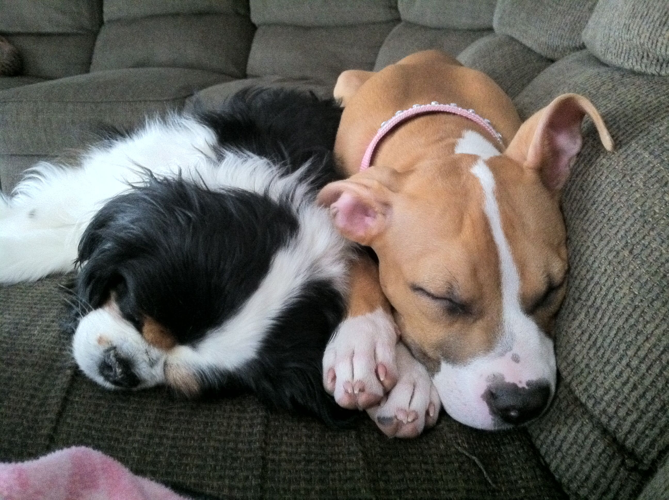 Pin By Wendi Corbitt On Pit Bull Puppies And Cavelier King Charles