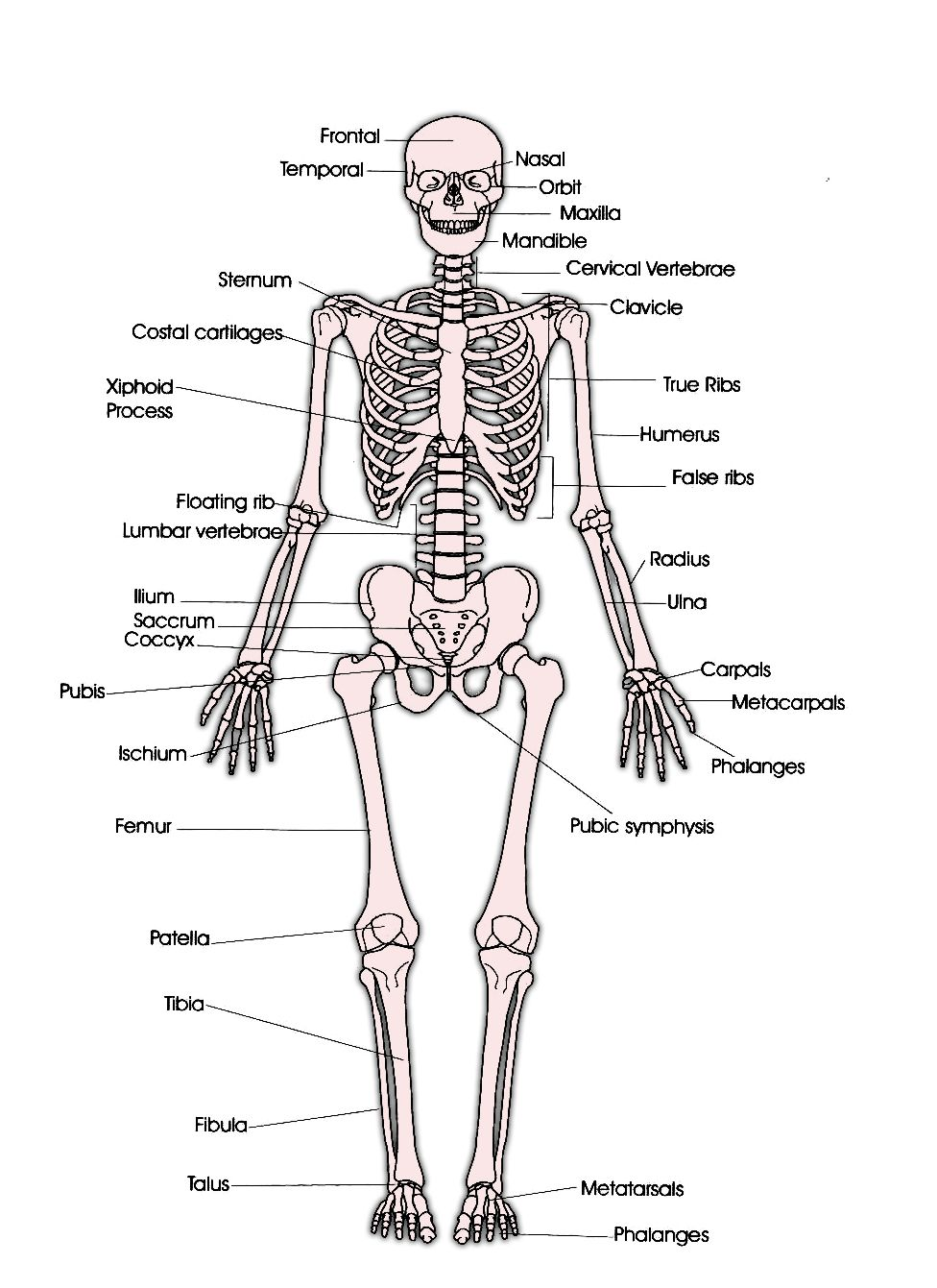 skeletal system  u2013 labeled diagrams human skeleton  the skeletal system includes all of the bones