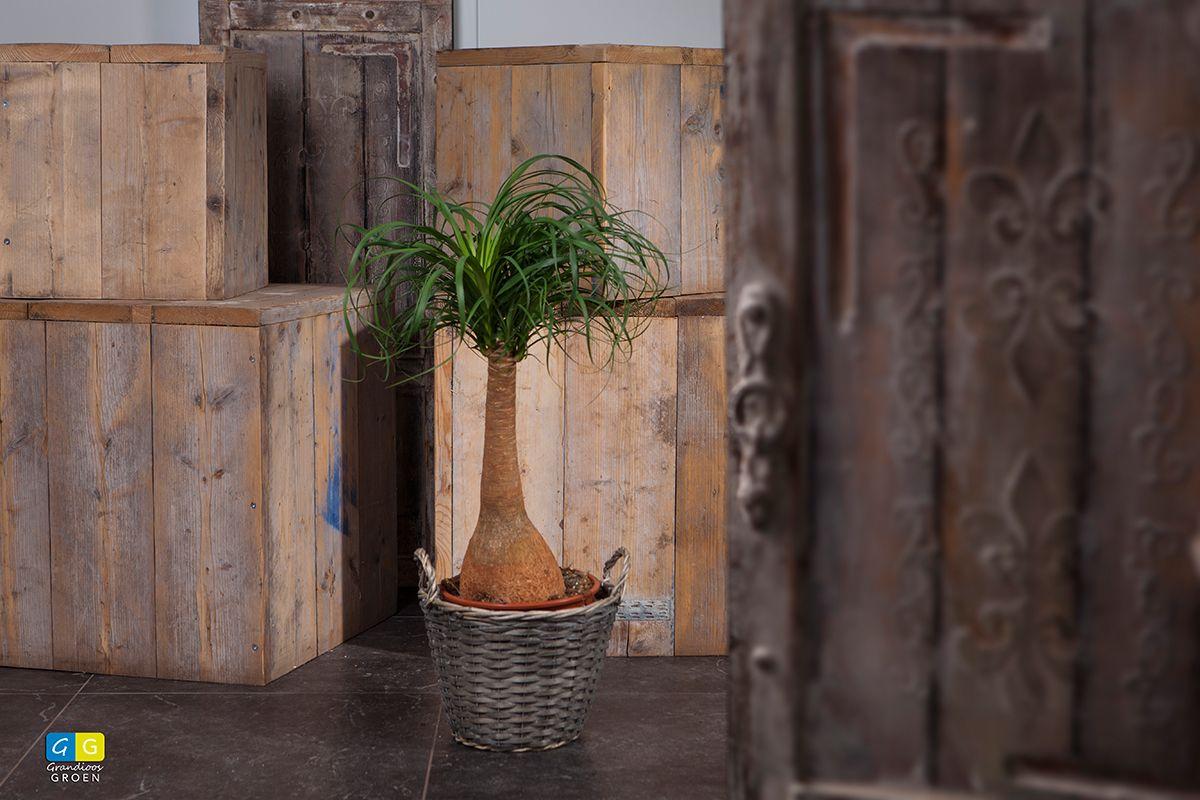 Beaucarnia of olifantspoot. Past in een modern interieur maar ook in een woning met een klassieke of country stijl.