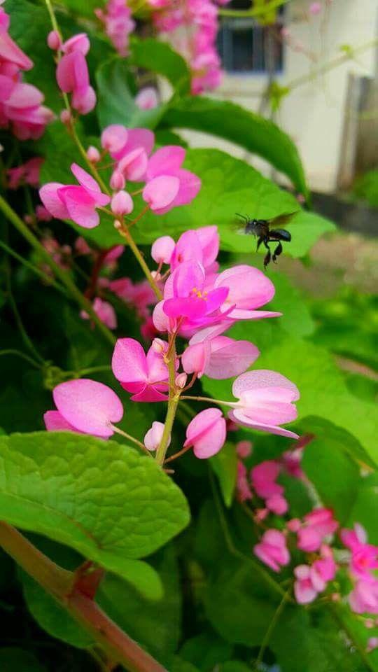 Bunga Air Mata Pengantin Pink Flowers Outdoor Plants Flowers