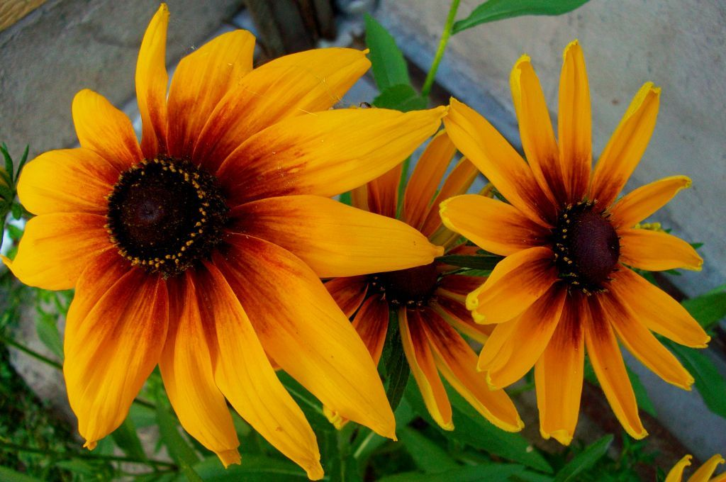 Three beauties :) #Yellow flowers #Yard #three #beauty #black-eyed Susans #focus #photo  #photo #photography #fliiby #images #yyazilim #people #nature