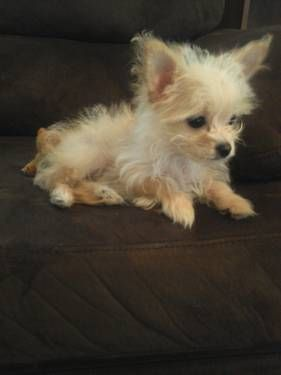 long hair chihuahua yorkie mix chorkie poo pup dog stuff pinterest pup animal and dog 6662
