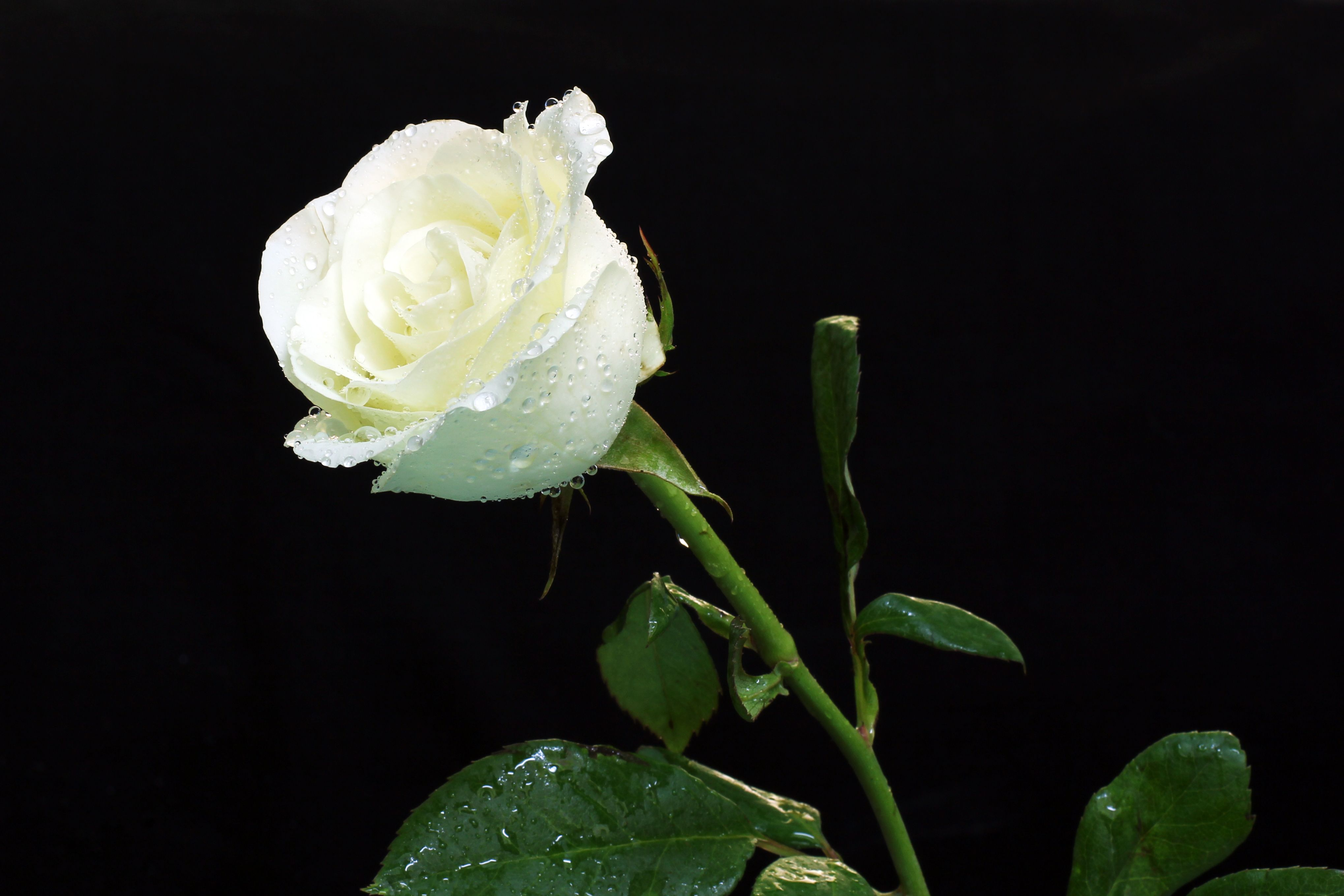 White Rose On Black Background Wallpaper And Photo Download By Photosof Org White Roses Rose Wallpaper Rose Flower Wallpaper