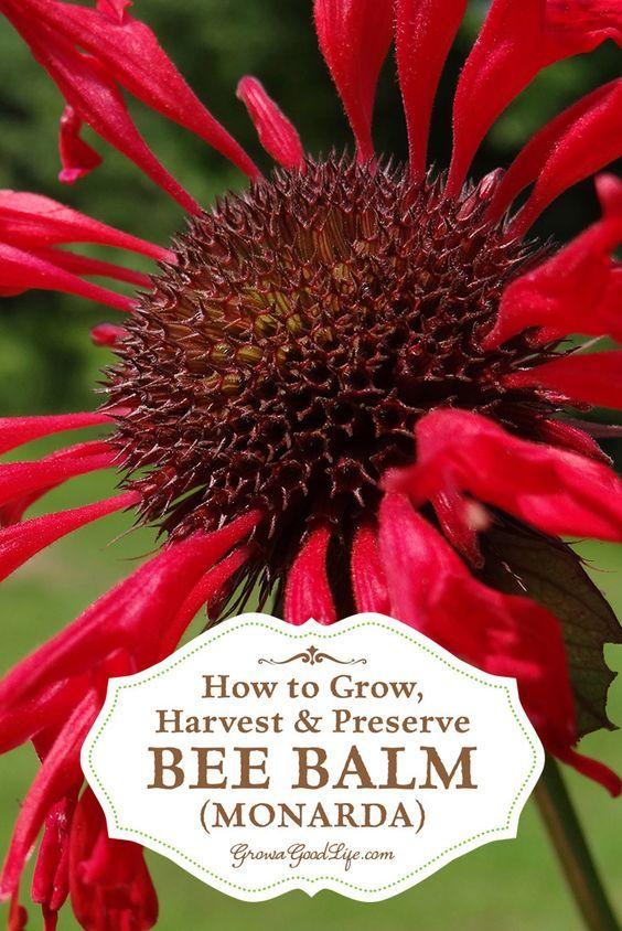 Garden Bush: How To Grow, Harvest, And Preserve Bee Balm (Monarda