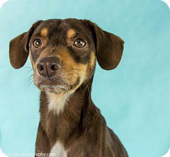 Chihuahua Beagle Mix Dog For Adoption In Seattle Washington