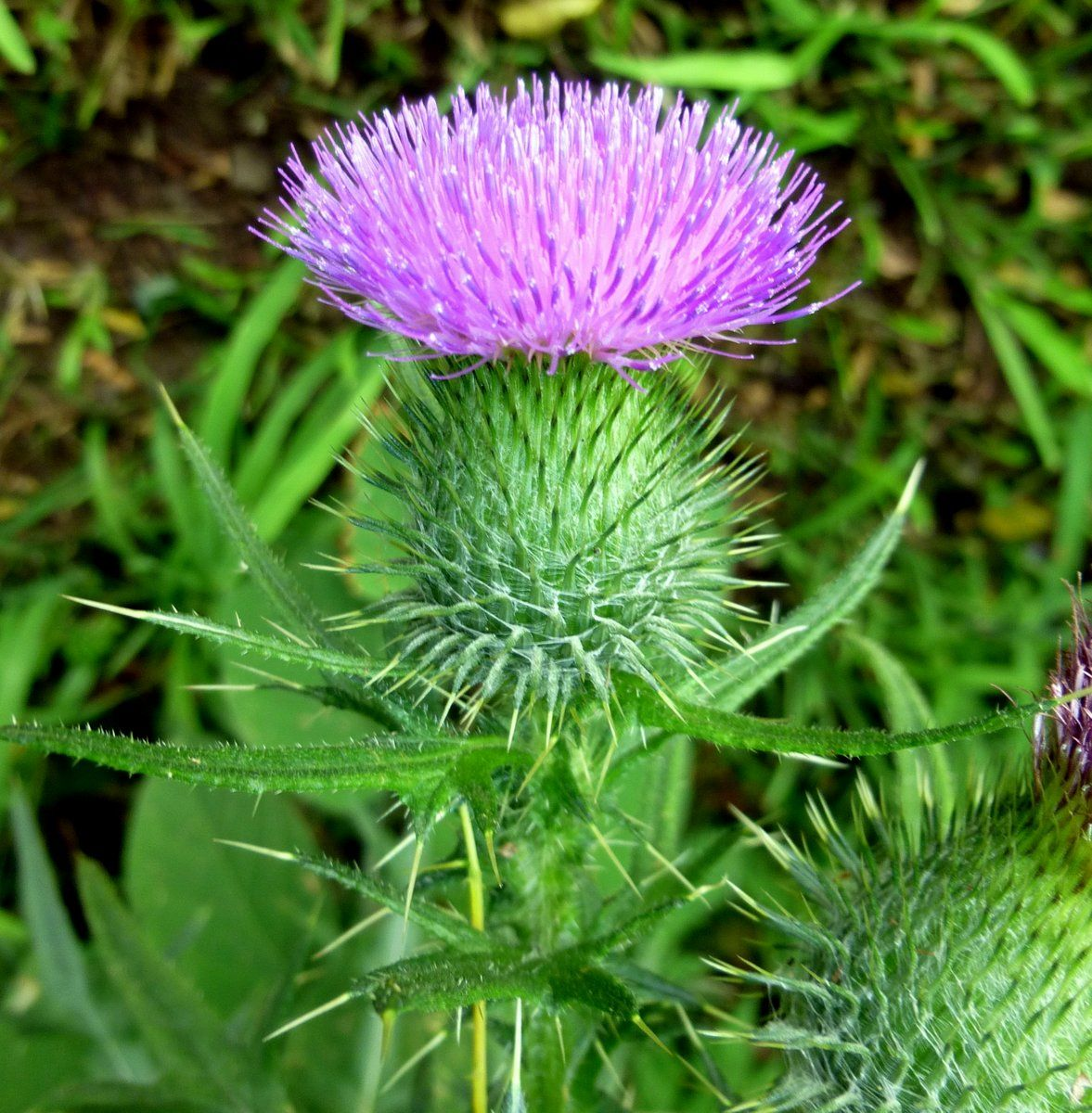 Bull Thistle | New Hampshire Garden Solutions