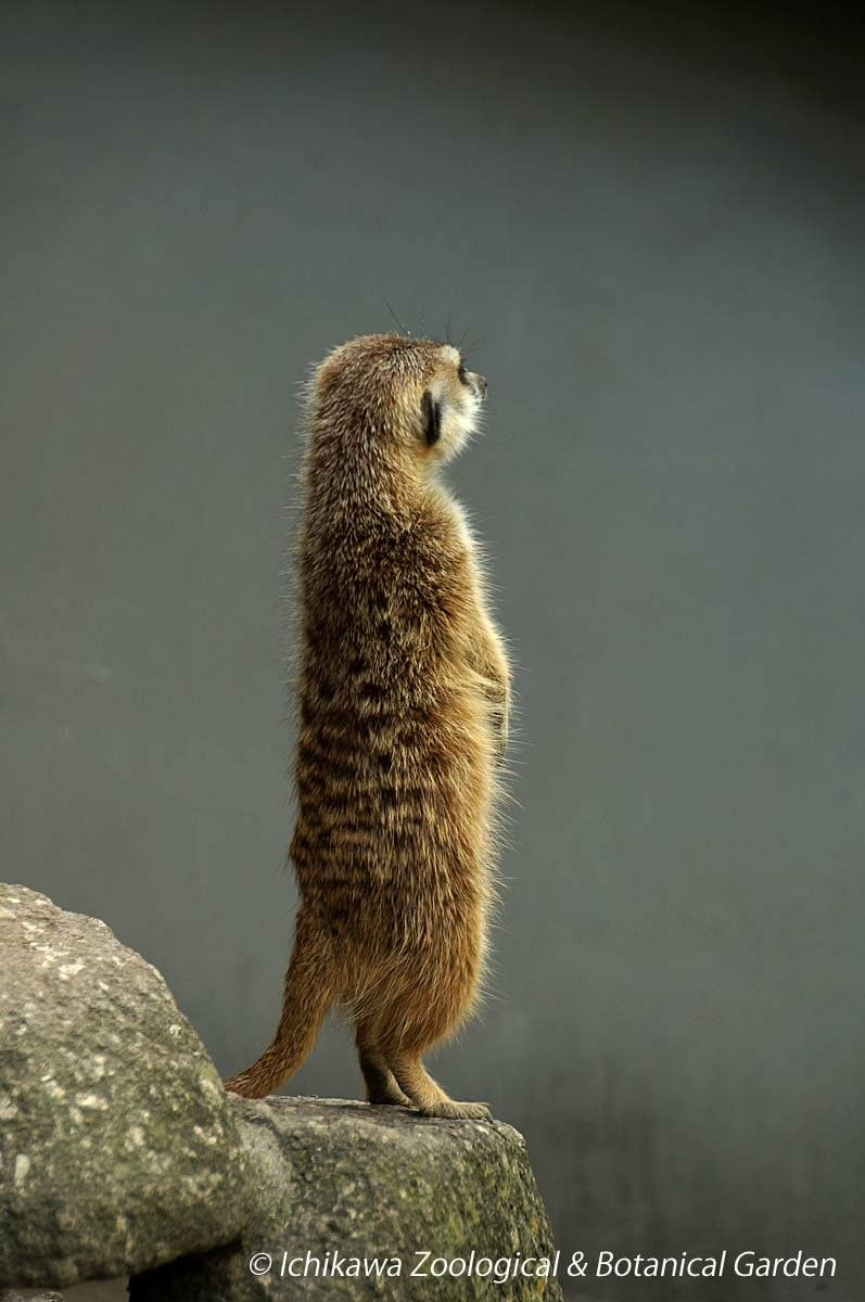 脊椎動物 哺乳類 ミーアキャット おしゃれまとめの人気アイデア Pinterest Kagetsu Ukyo ミーアキャット 動物 哺乳類