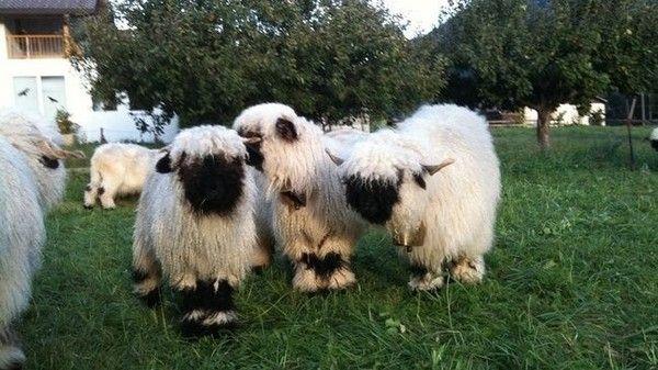 Valais Blacknose Valais blacknose sheep, Cute sheep, Zoo