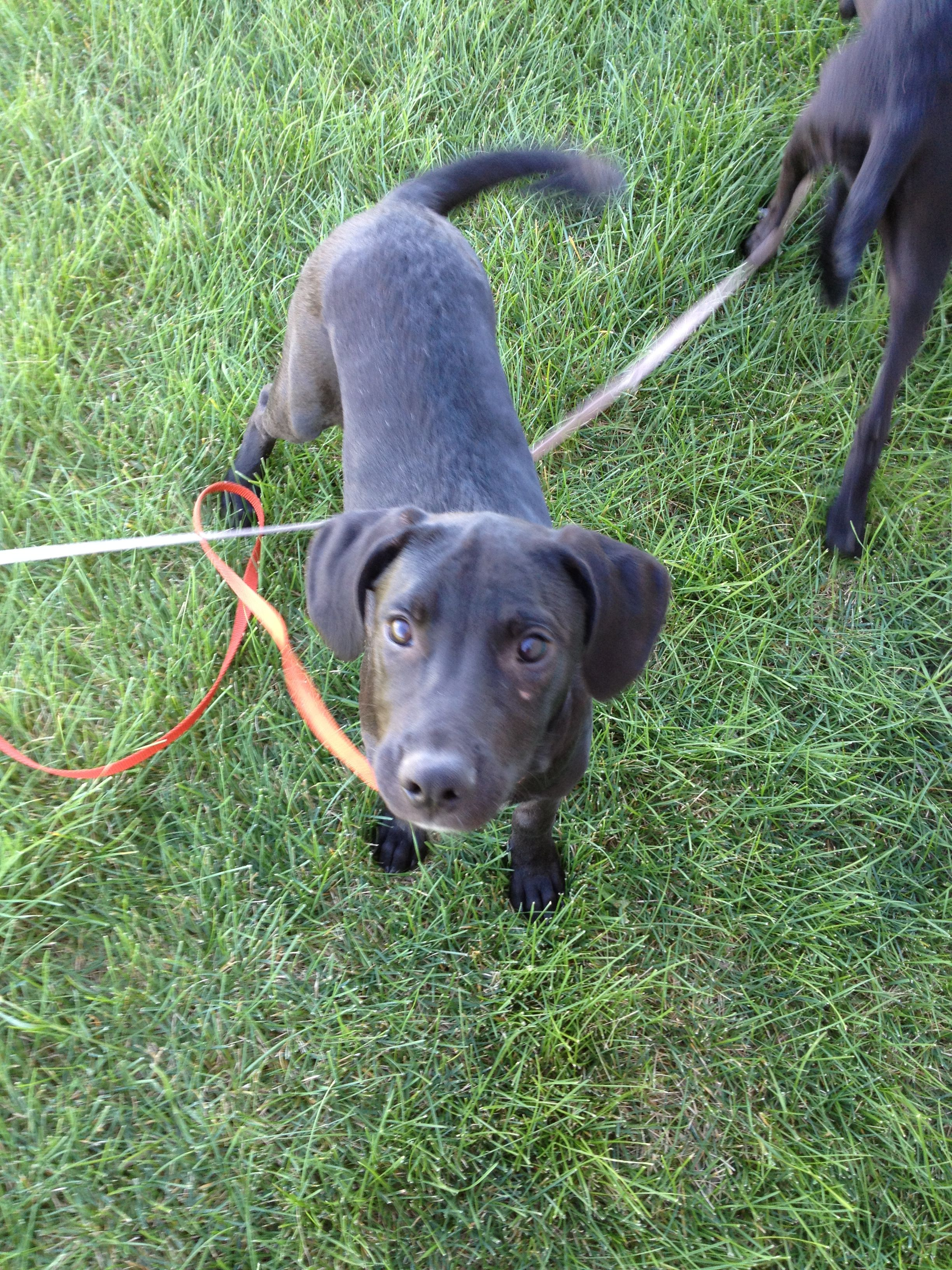 Johnny, a 45 month old male black lab mix puppy is