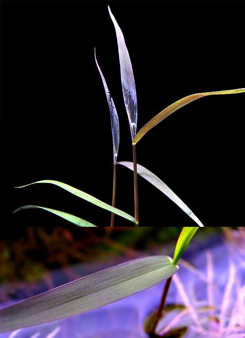 Live Aquarium Rare Freshwater Plant Poacheae sp Purple Bamboo Set of 5 Stems