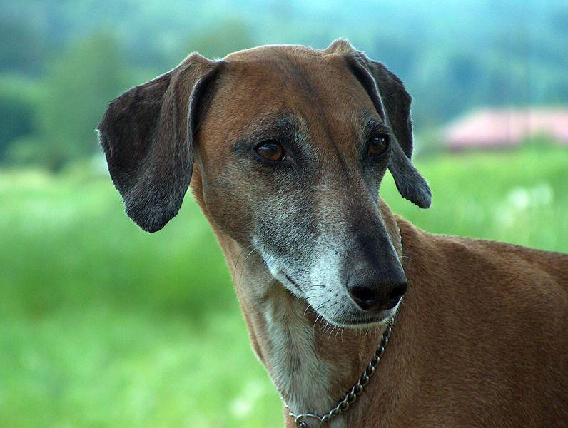 Azawakh Rare Dog Breeds Rare Dogs Dog Breeds
