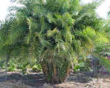 Tipos de palmas palmera del senegal palma del senegal for Plantas de interior tipo palmera