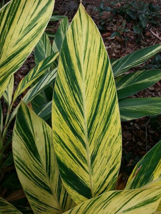Green And Yellow Stripes On Ginger Plant Tropical Landscaping Balinese Garden Plants You can fertilize the plant sometime in march when the. green and yellow stripes on ginger