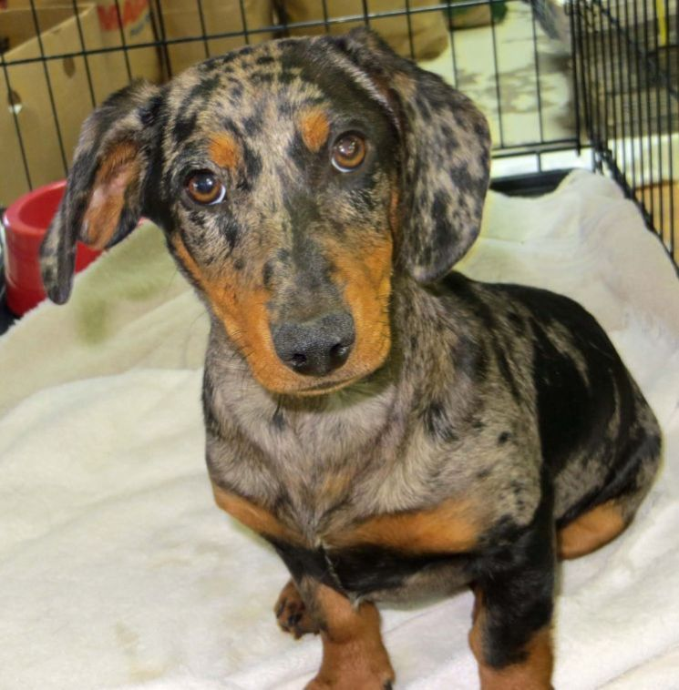 Charlie, a 3 month old, male DappleDachshund is the