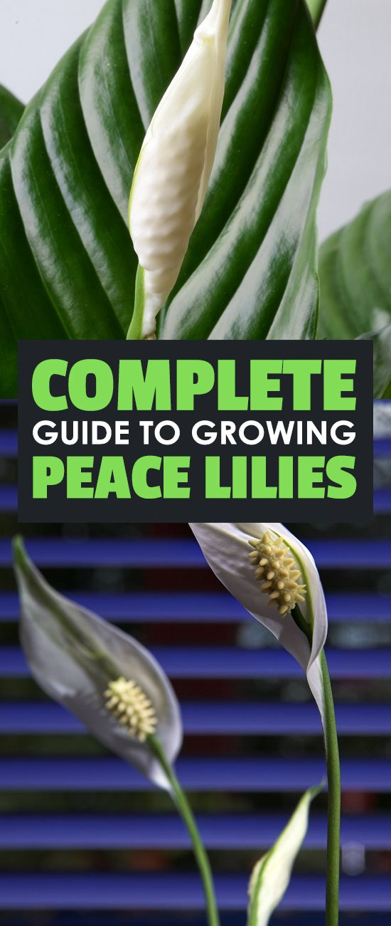 Peace Lily Care – How To Grow Spathiphyllum Peace Lily 400 x 300