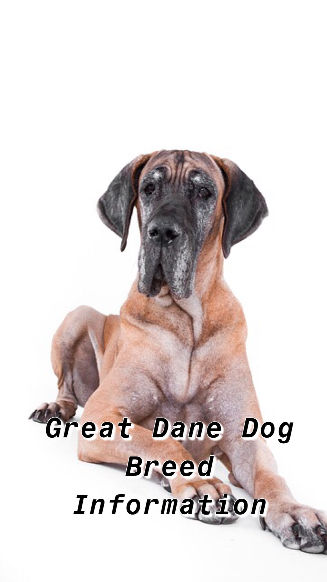 Ultimate Great Dane Breed Information Great Dane Great Dane