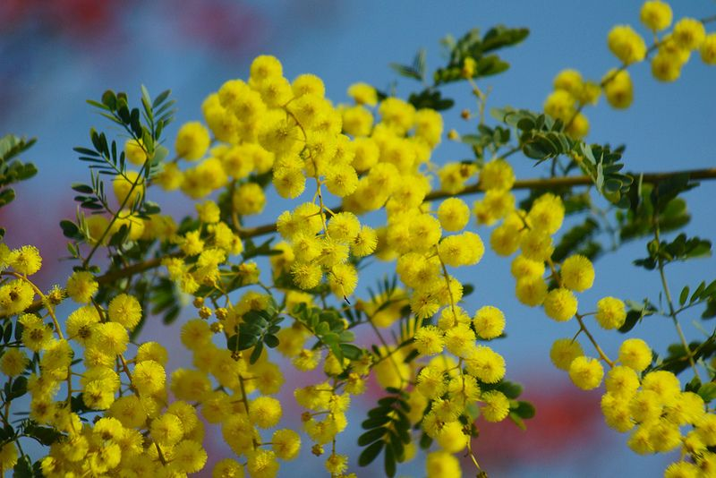 ふさアカシア 房アカシア Acacia Decurrens Var Dealbata ミモザ Blossom Mimosa Tree Free Pictures