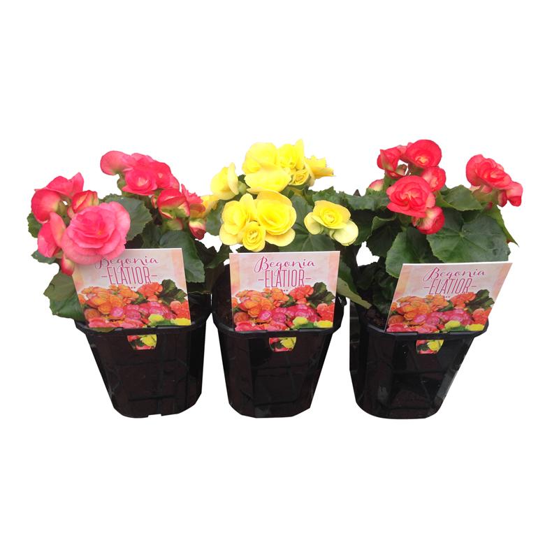 150mm Patio Jewels Range Begonia Begonia X Hiemalis Begonia Flower Pots Patio