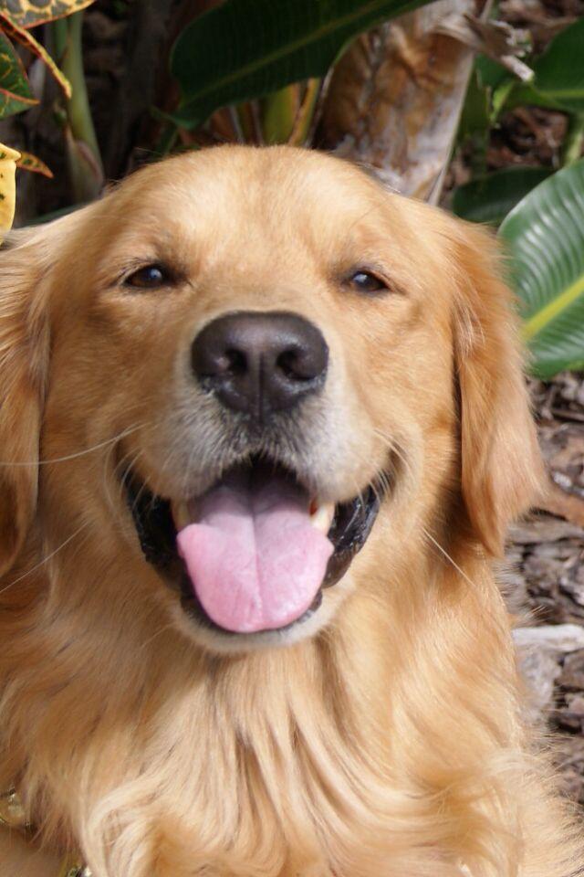 Texas Dog Friendly Travel Guide Golden Retriever Dogs Golden