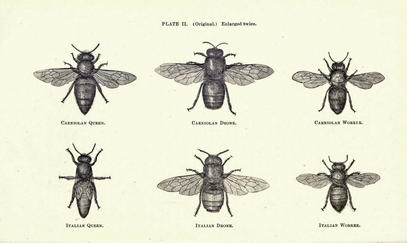 Vintage Ephemera Illustration Bees 1899 Ink Pinterest Bee