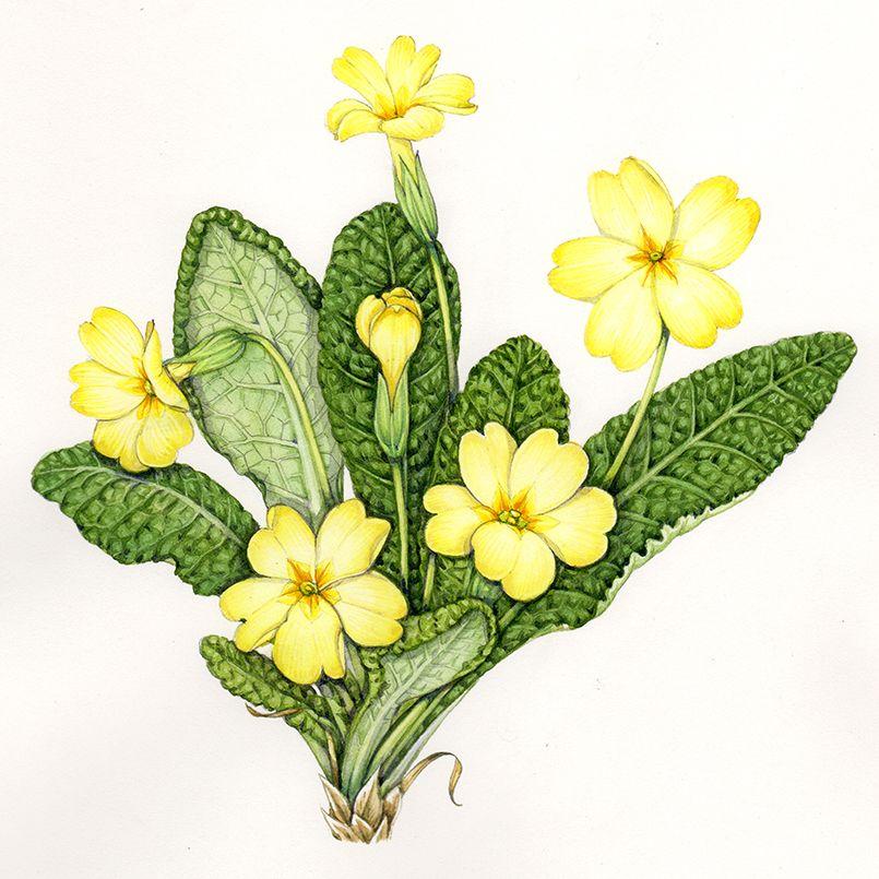 Cowslip botanical illustration: Sketchbook study ...