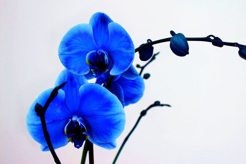 Blue Orchid Pictures Blue Orchids Orchids Orchid Wallpaper