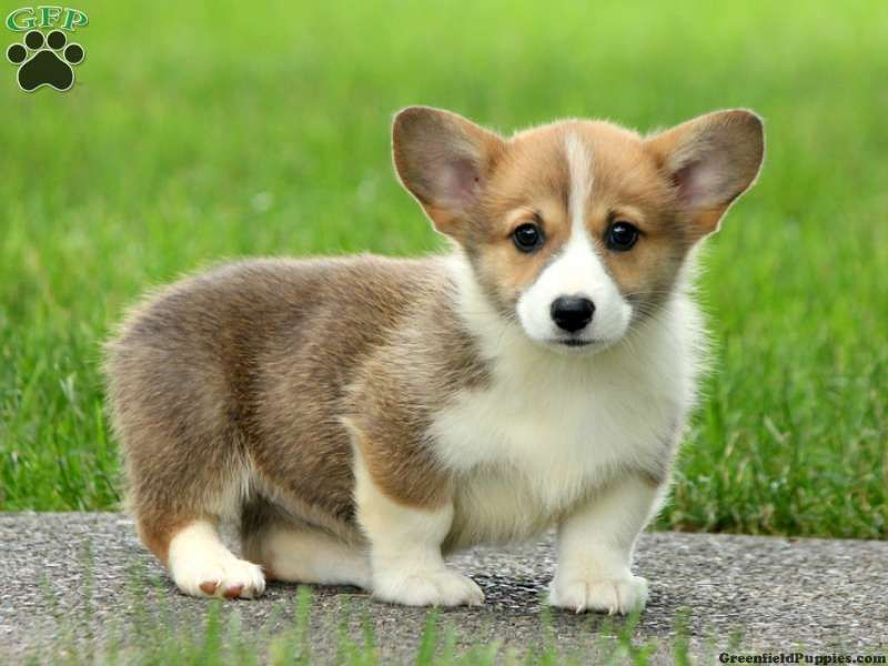 Mini Corgi Puppies For Sale >> Dolly Welsh Corgi Puppy For Sale From Woodstown Nj Dogs