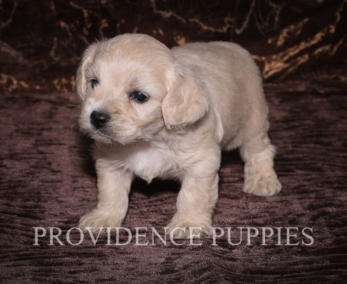Cavapoo puppy for sale in WAYLAND, IA. ADN70776 on