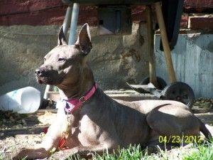 Freya is an adoptable Thai Ridgeback Dog in Fort Wayne, IN. Meet Freya! A stunning thai ridgeback/ bull terrier mix. This gorgeous girl LOVES to cuddle!