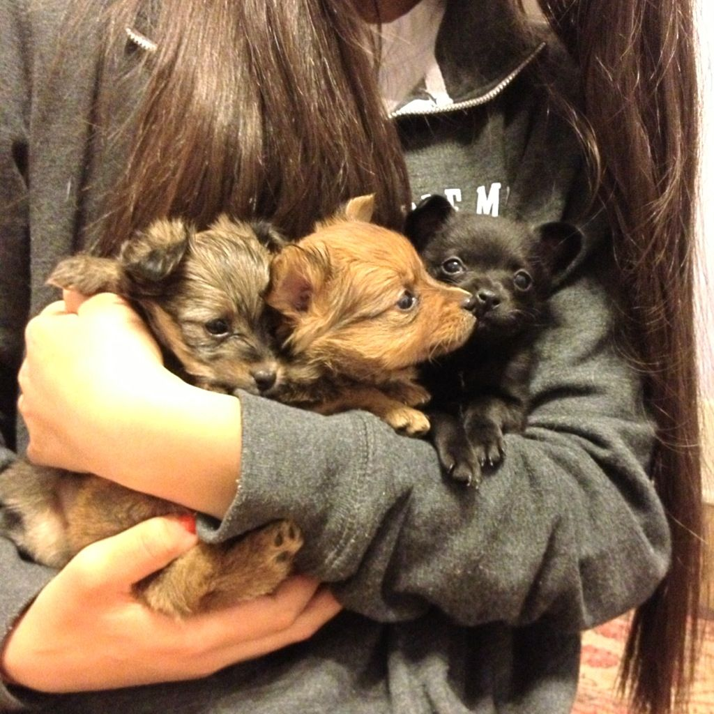 Chihuahua Pomeranian Yorkie Mixes Pomchi Puppies Basic Dog