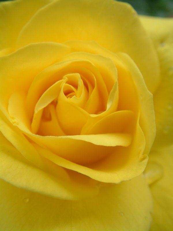 Oderings Garden Centre Floribunda Bush Rose Freesia Yellow Roses Rose Flower Background Iphone