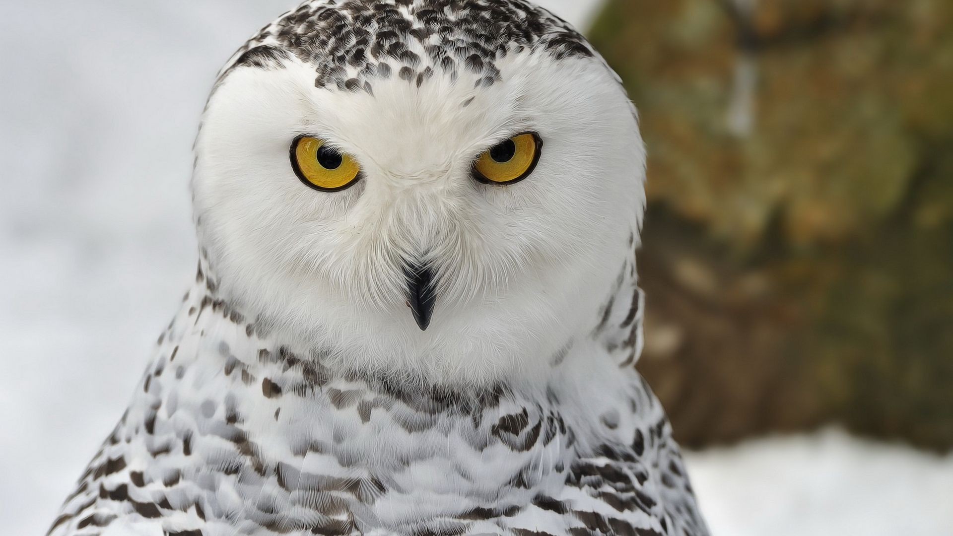 View Source Image Snowy Owl Owl Pictures Owl Wallpaper
