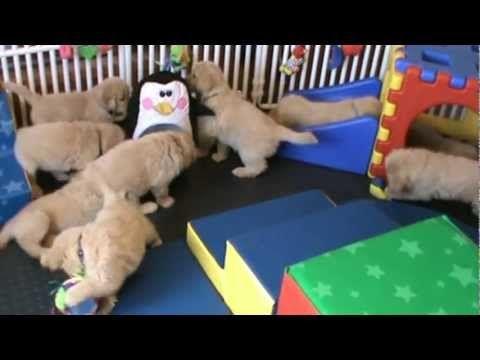 Vicious Pack Of Golden Retriever Puppies Attack An Unsuspecting Penguin Retriever Puppy Puppies Golden Retriever