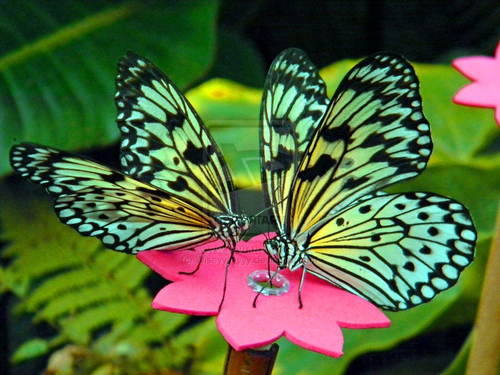 77 best butterfly images on pinterest beautiful butterflies