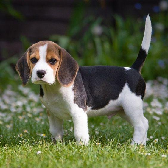Cute Pics Of Beagle Puppies