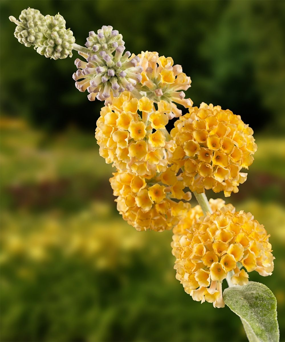 True To Its Name This Butterfly Bush Produces Globe Shaped Panicles