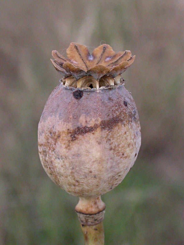 Opium Poppy Flores Frutos Y Semillas Pinterest Poppies Seed
