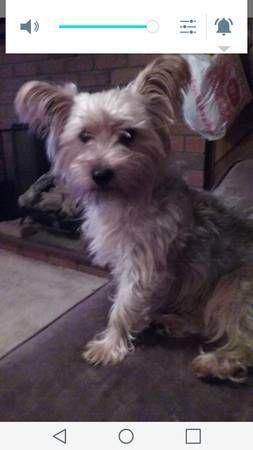 Missing Dog Silky Terrier Margaret Henry Rd Danielson Hide This