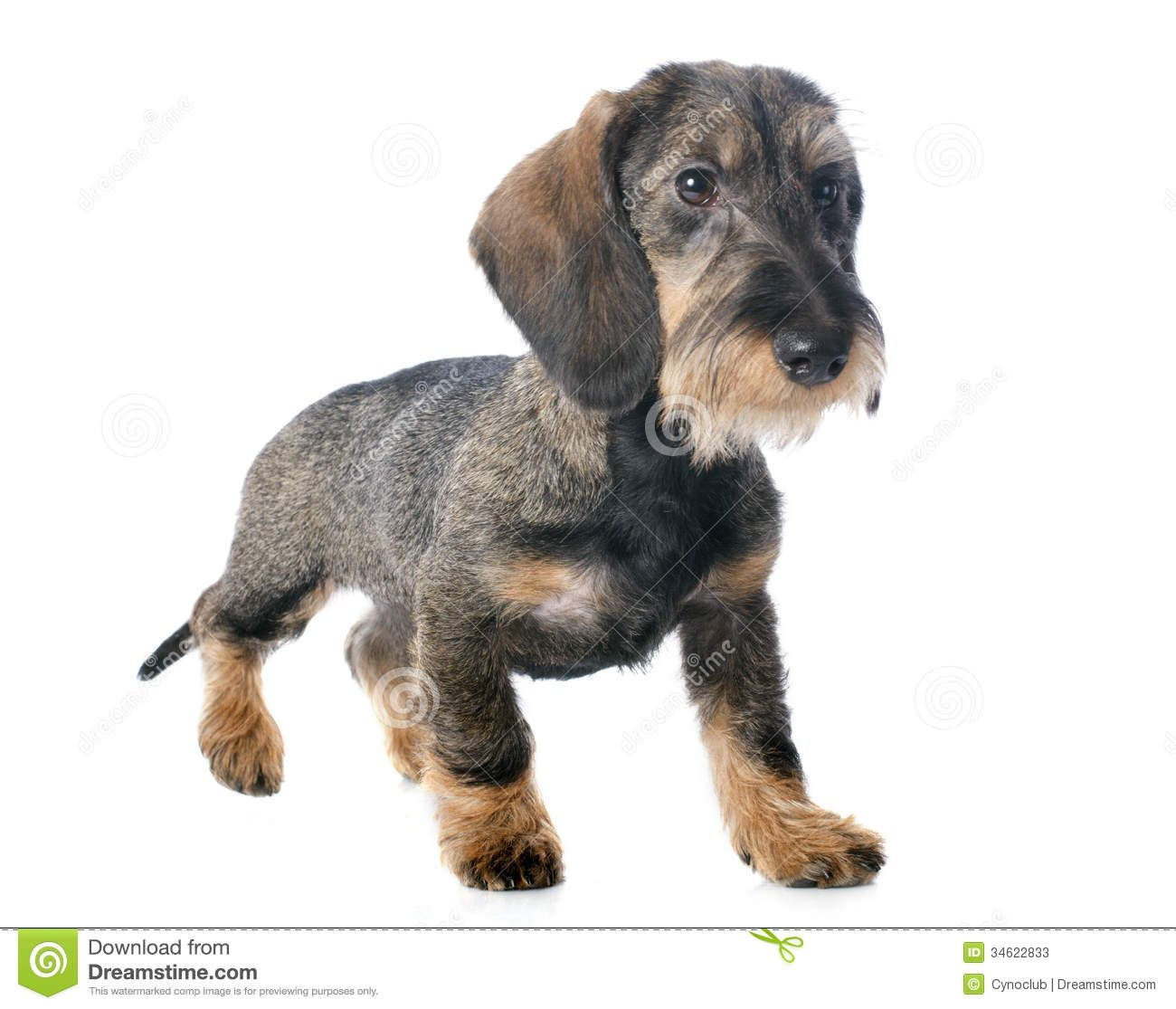 Cool Wirehaired Dachshund Breeders Photos - Electrical and Wiring ...