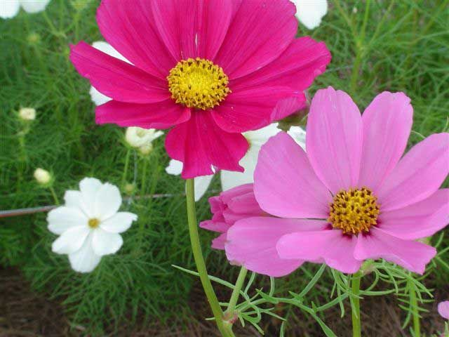 Cosmos: Need to plant some of these this year. Not a perennial but ...