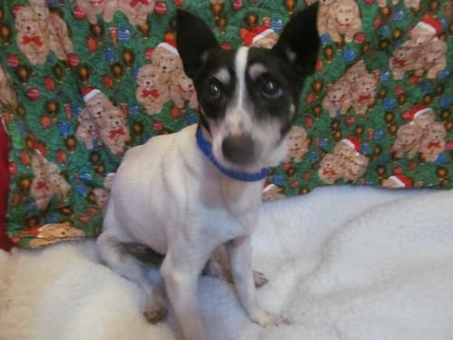 Meet Mickey A Petfinder Adoptable Rat Terrier Dog Troy Il 12