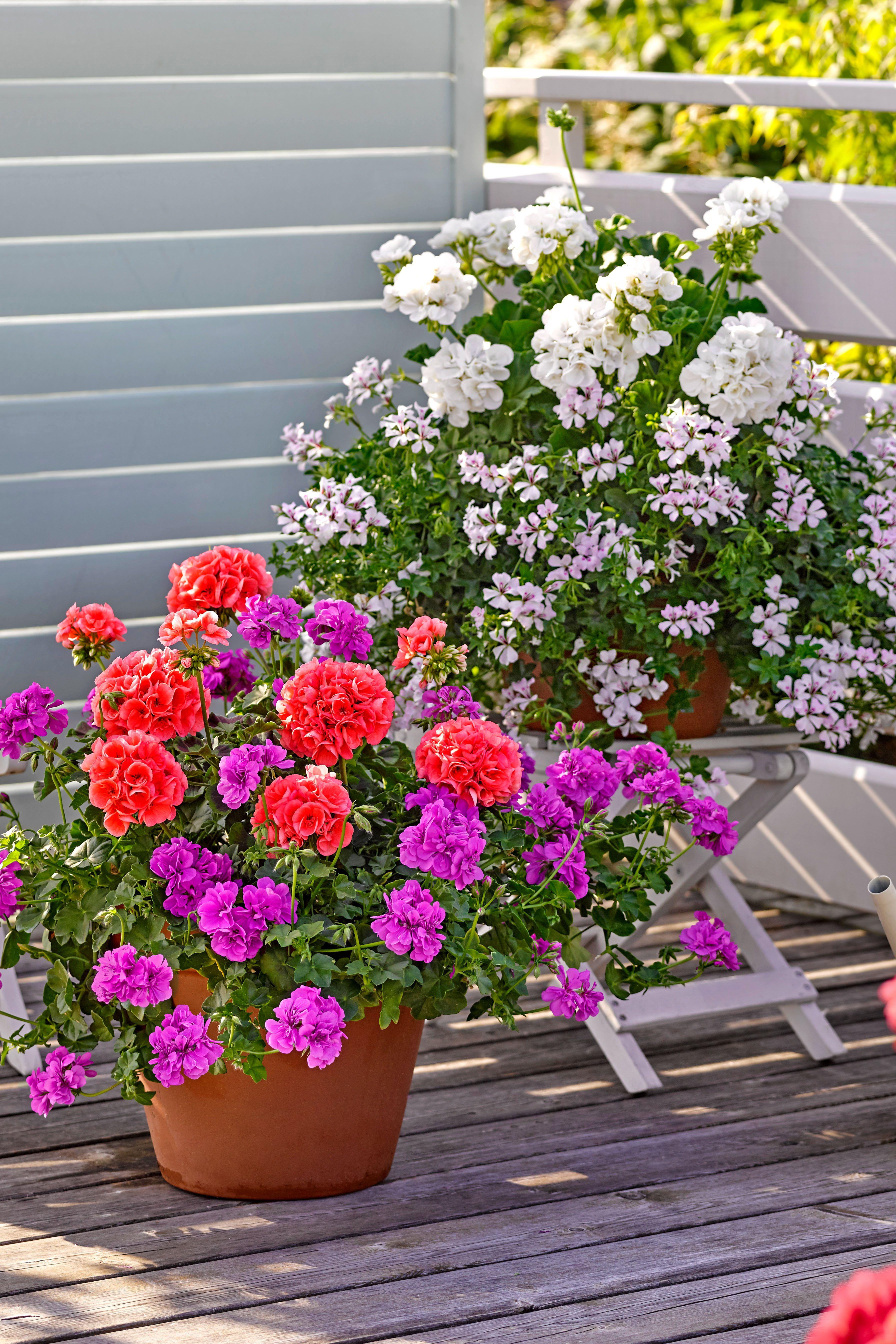 Sommerblumen Sommerblumen Pflanzen Schwarzaugige Susanne