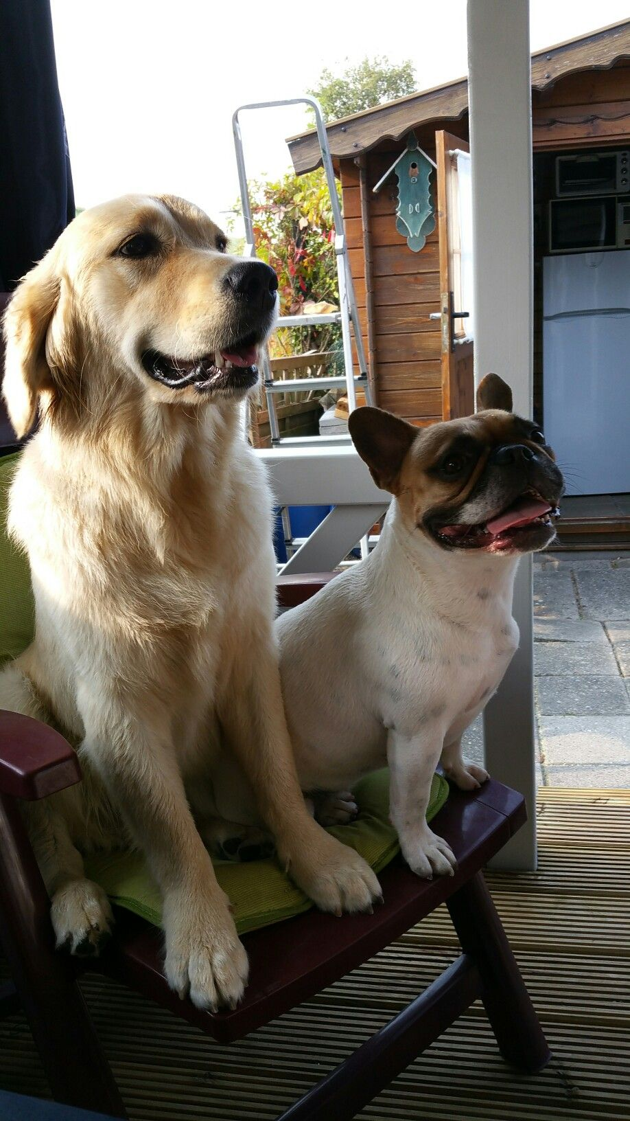 My French Bulldog Mila And Her Mate Bailey The Golden Retriever